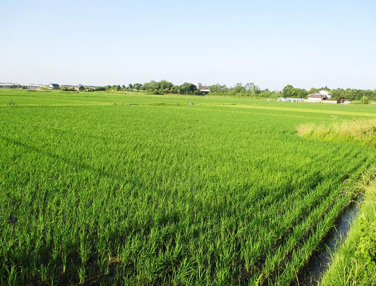 無農薬のお米