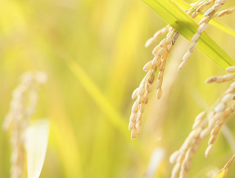 有機農法のお米
